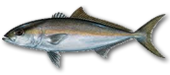 Miami Beach Fishing Charters 16 Miami Beach Amberjack
