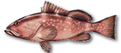 Miami Beach Fishing Charters 10 Miami Grouper