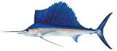 Miami Beach Fishing Charters 12 Miami Sailfish