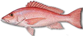 Miami Beach Fishing Charters 8 Miami Snapper