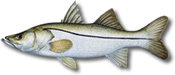 Miami Beach Fishing Charters 5 Miami Snook Fishing