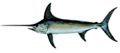 Miami Beach Fishing Charters 9 Miami Swordfish